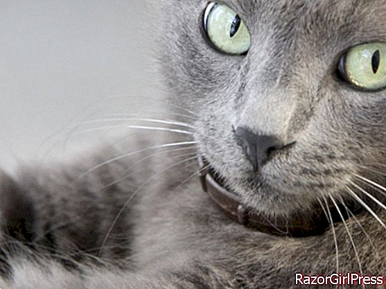 Cat breeds from A to Z