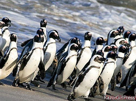 Cape penguins asked to move!